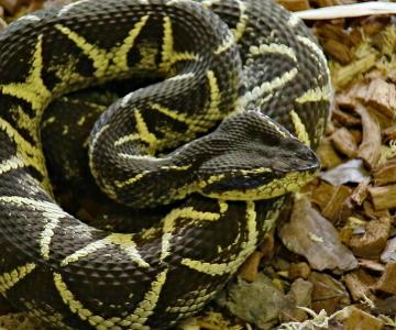 Substância em veneno de cobra jararacuçu pode inibir avanço da Covid-19